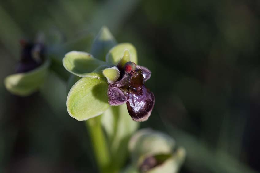 Die winzige Drohnen-Ragwurz ist eine Orchidee, die wir zuvor noch nie finden konnten. Dieses Mal haben wir sie an zwei verschiedenen Standorten im südlichen Peloponnes gefunden.