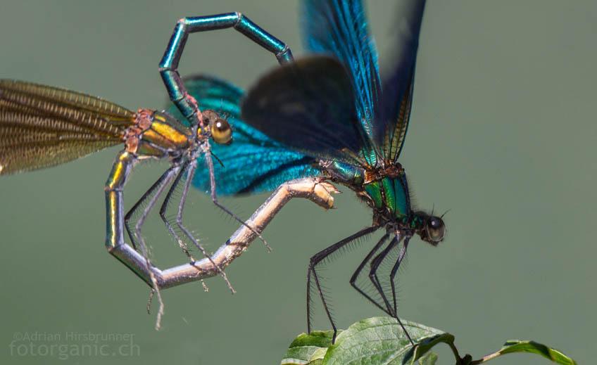 Hier findest Du Naturbilder wie die Paarung der Blauflügel-Prachtlibellen.
