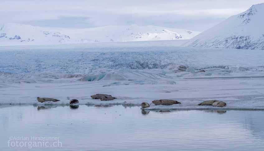 Die Gletscherlagune von Jökulsárlón ist Lebensraum zahlreicher Robben. Im Winter sind sie besonders leicht zu beobachten.