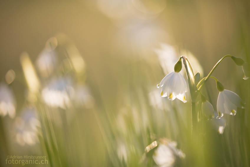 Blumen im Abendelicht fotografieren: Die Sommer-Knotenblume im Gegenlicht.