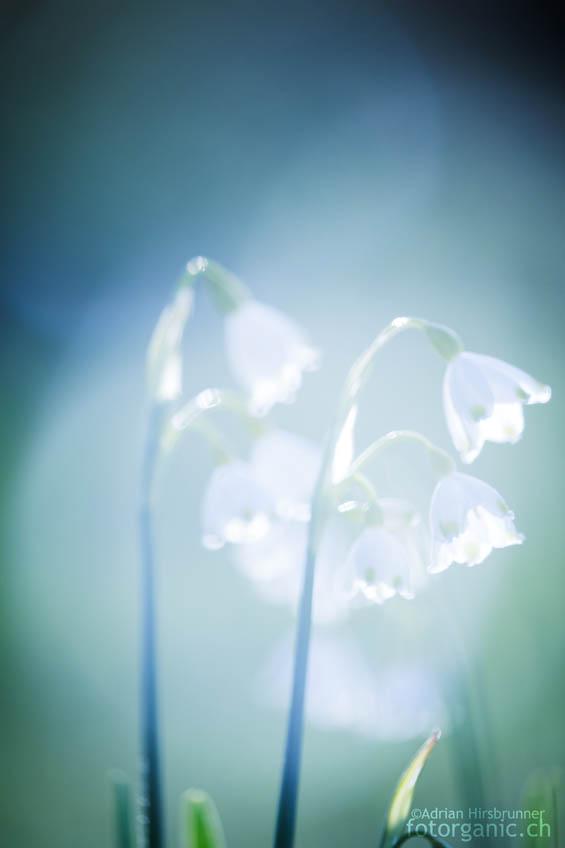 Sommer-Knotenblume, fotografiert mit viel Streulicht.