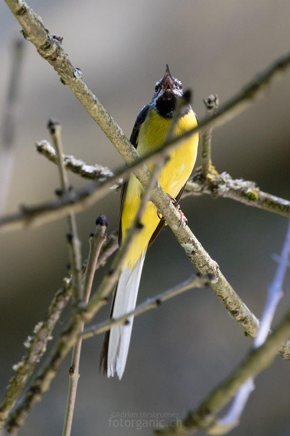 Die Gebirgsstelze ist in der Areuse-Schlucht ein häufiger Brutvogel.