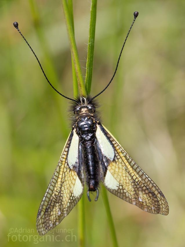 Auch die Libellen-Schmetterlingshaft ist auf einen Lebensraum mit Trockenrasenarealen angewiesen.
