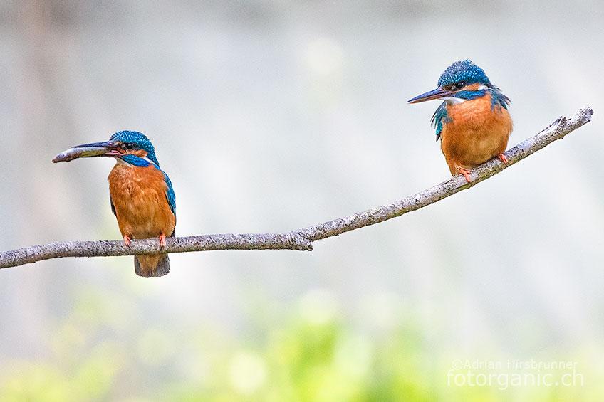 Die vielseitigen Lebensräume am Neuenburgersee bieten Platz für seltene Tiere und Pflanzen. Auch der Eisvogel fühlt sich wohl.