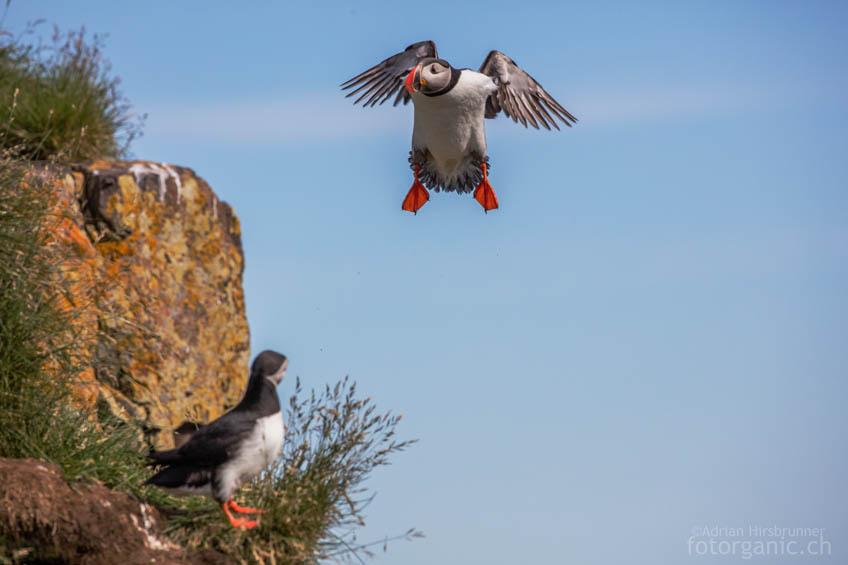 Papageientaucher sind nicht besonders geschickte Flieger. Ihr Landeanflug endet oft mit einer Bruchlandung...