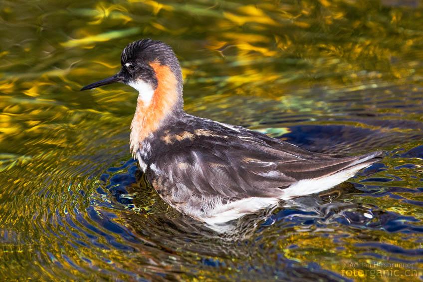 Das agile Odinshühnchen in einem Gewässer in Landmannalaugar