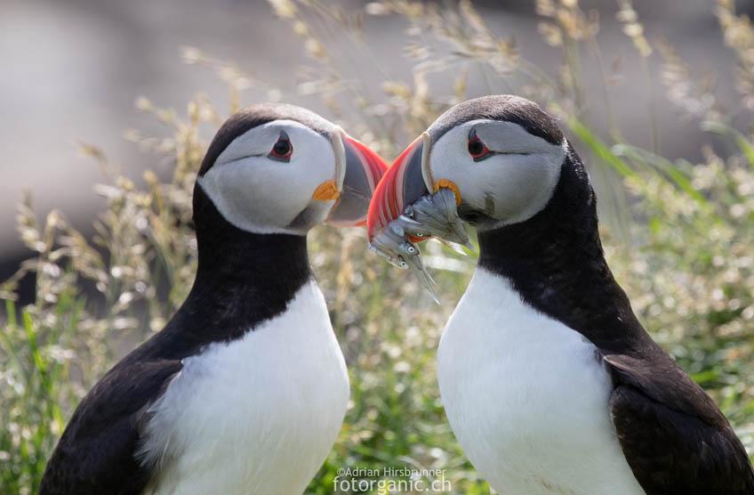 3-4 Millionen Papageientaucher brüten an Islands Küsten. Island ist wohl eines der geeignetsten Länder um Puffins zu beobachten.