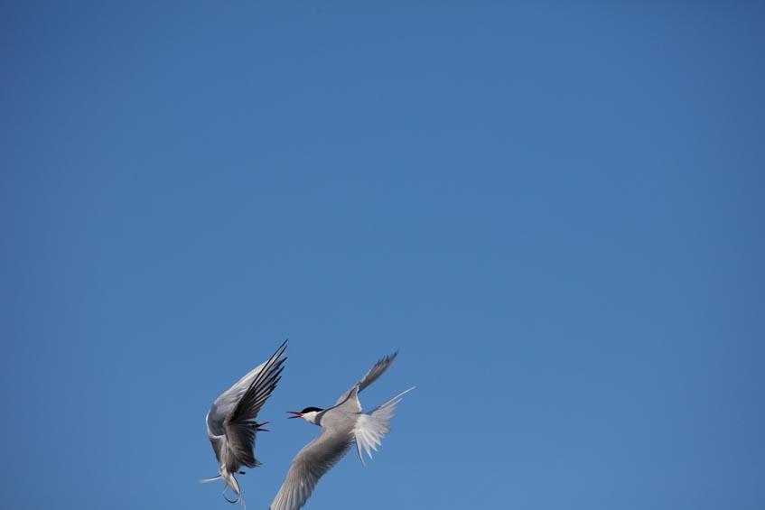 Fliegende Vögel zu fotografieren ist immer eine Herausforderung. Bei dieser Aufnahme habe ich die streitenden Küstenseeschwalben am Rand des Bildes gerade noch einfangen können. Eine Aufnahme, die mit einer 20MP Kamera nicht mehr wirklich zu gebrauchen wäre.