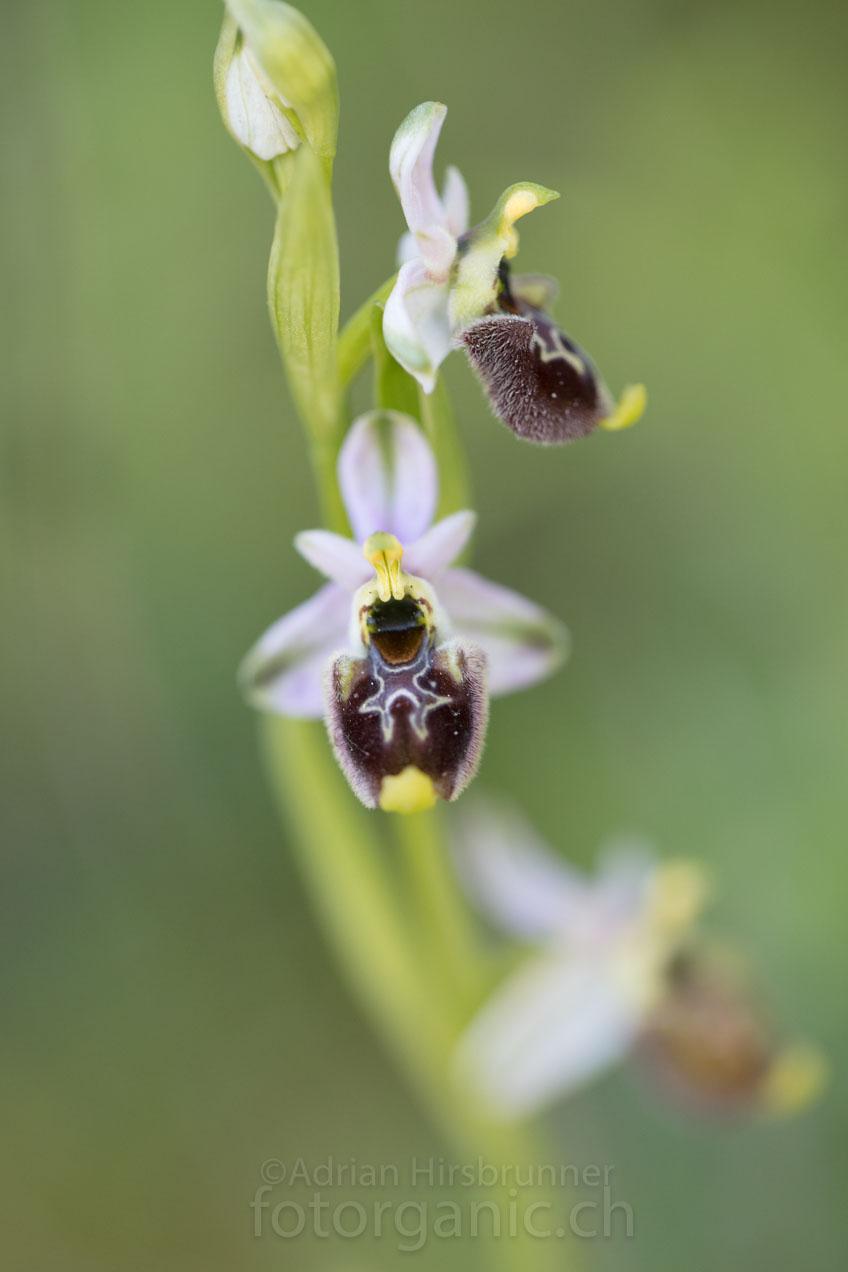 Annas Ragwurz (Ophrys annae) soll in Sardinien endemisch sein.