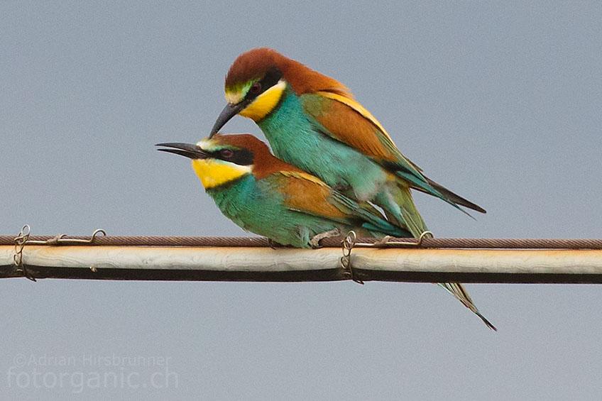 Sardinien ist eine Insel Italiens, auf der man den Bienenfresser noch regelmässig beobachten kann. Er ist wohl einer der farbenprächtigsten Vögel Europas.