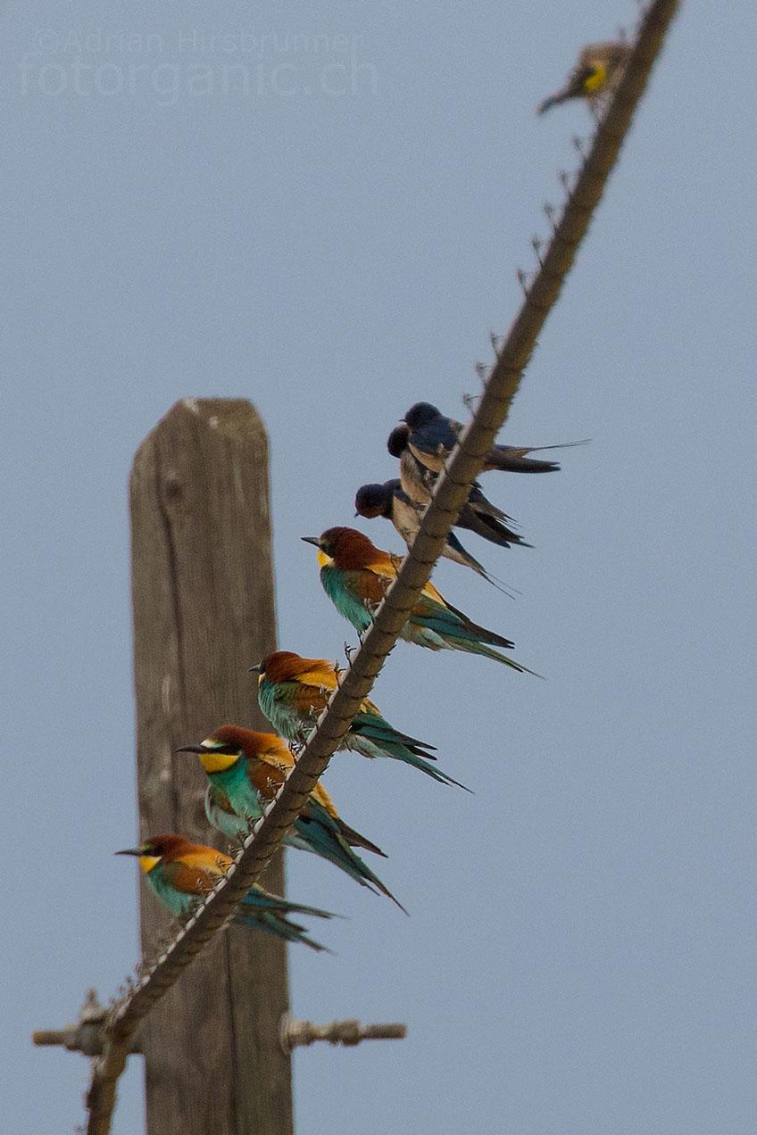 Die geselligen Bienenfresser sitzen liebend gerne auf Leitungsdrähten.
