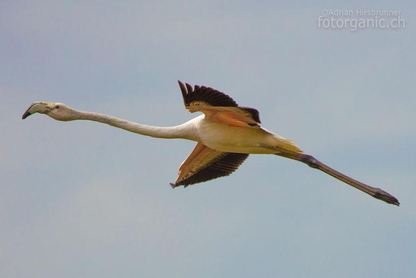 Bei der Weiterfahrt, treffen wir doch noch auf eine kleine Flamingo-Kolonie die sich in Reichweite befindet.