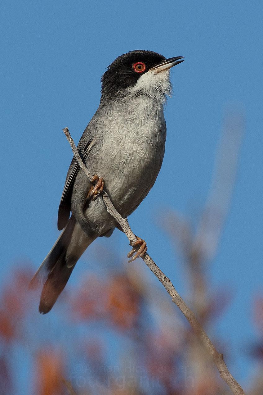 Die kleine Samtkopf-Grasmücke liebt die buschige Macchia Landschaft Sardiniens.