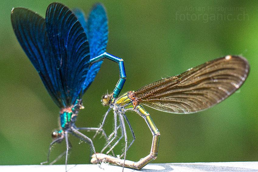 Das Männchen krümmt seinen Hinterleib zum Paarungsring.
