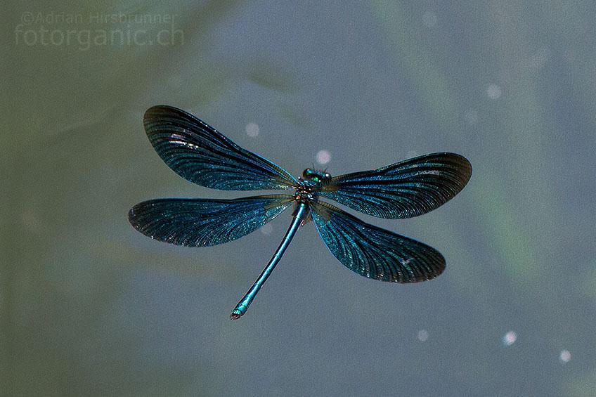 Prachtlibellen besitzen eine erstaunlich variable Bandbreite verschiedener Flugarten. Im frontalen Drohflug beispielsweise, kann das Prachtlibellen-Männchen beide Flügel nach vorne klappen um so grösser zu erscheinen.