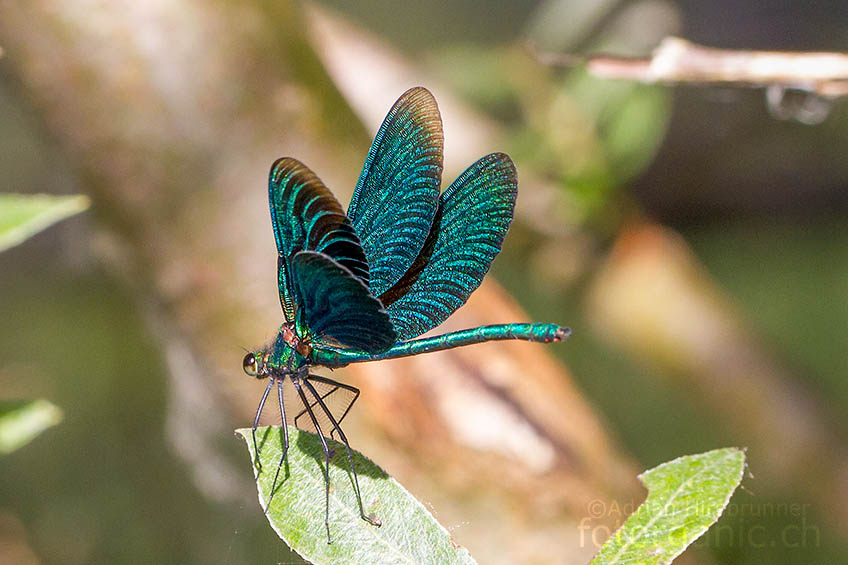 Fällt das Licht aus einer anderen Richtung auf die Libellen, erscheint die Prachtlibelle plötzlich dunkelcyanfarben.