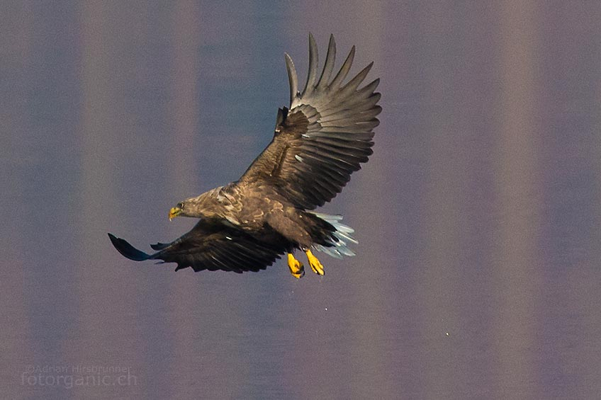Leider haben wir wenig Zeit, den jagenden Seeadlern zuzuschauen.
