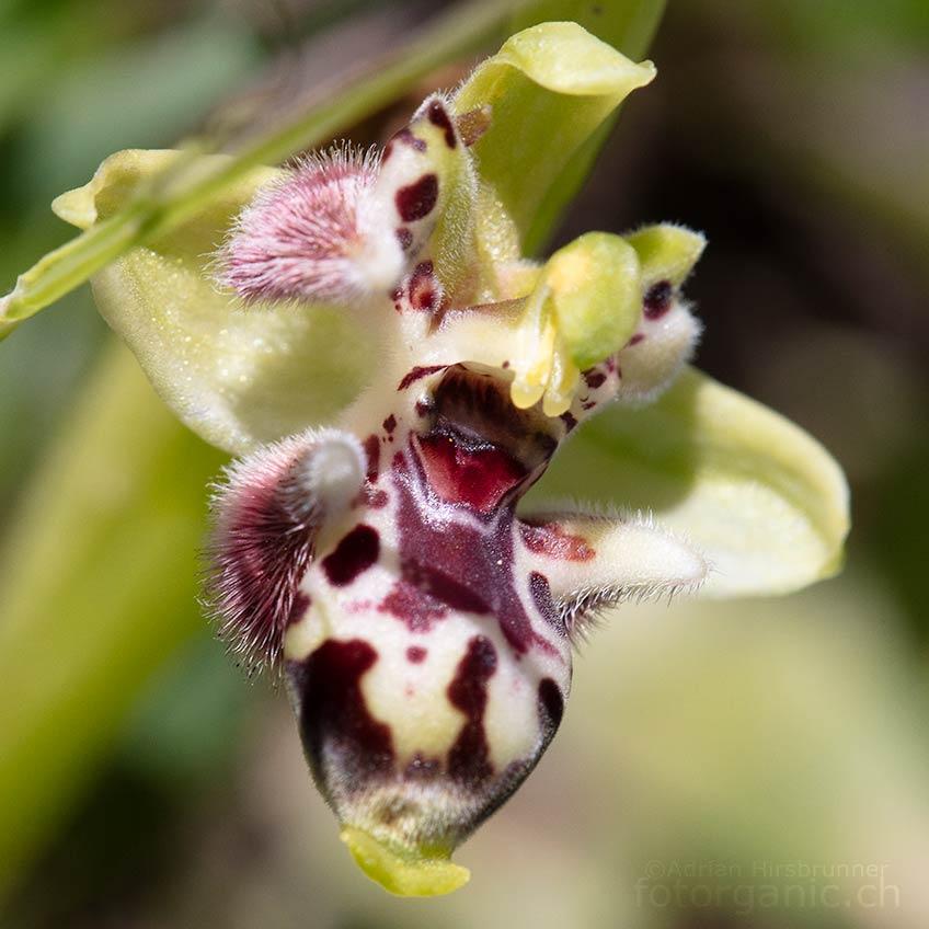 Lippenbildung an den Petalen der Blüte.