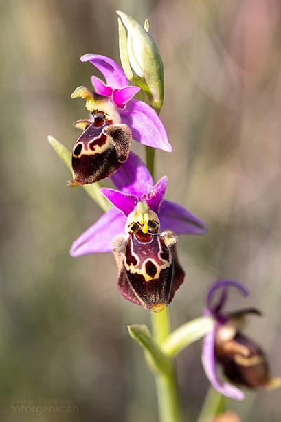 Die Blüten von Ophrys heldreichii sind vielgestaltig und lebendig gezeichnet. Pilonas, 02.04.2018