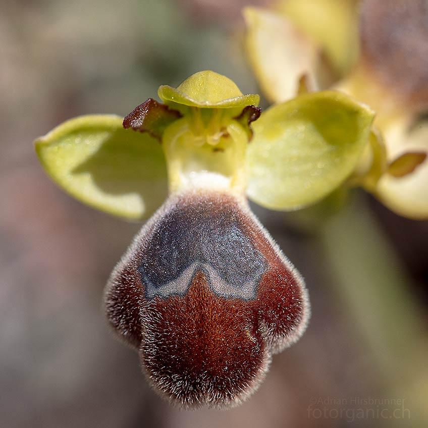 Ophrys omegaifera hinterlässt mit iheren grossen Blüten einen beinahe bulligen Eindruck. Agios Isidoros, 04.04.2018