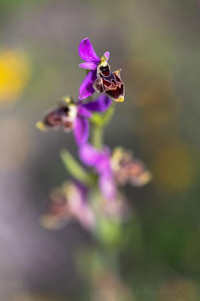 Ophrys heldreichii mit stark eingerollter Lippe, Pilonas, 02.04.2018
