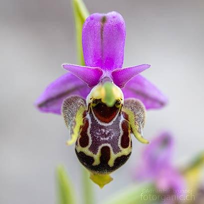 Ophrys oestrifera ist sehr vielgestaltig. Apollona, 04.04.2018