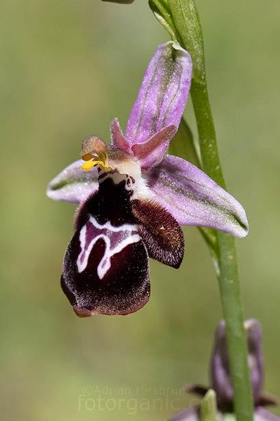 Ophrys-reinholdii mit gefülltem Lippenmal. Agios Isidoros, 06.04.2018
