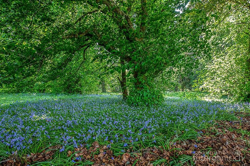 Im Frühling bilden sie vielerorts in Schottland einen blauen Blütenteppich: Die Hasenglöckchen, eine Hyazinthenart.