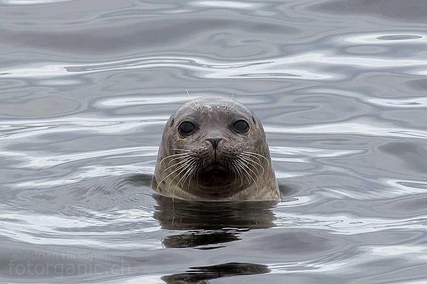 Wenn Du etwas Geduld mitbringst, kannst Du in Schottland immer wieder auf Wildtiere treffen. So wie hier, wo mich an der Küste plötzlich das neugierige Augenpaar einer Robbe mustert.