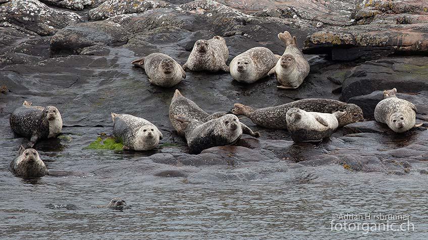 Oftmals trifft man an der Küste Schottlands auf Robben