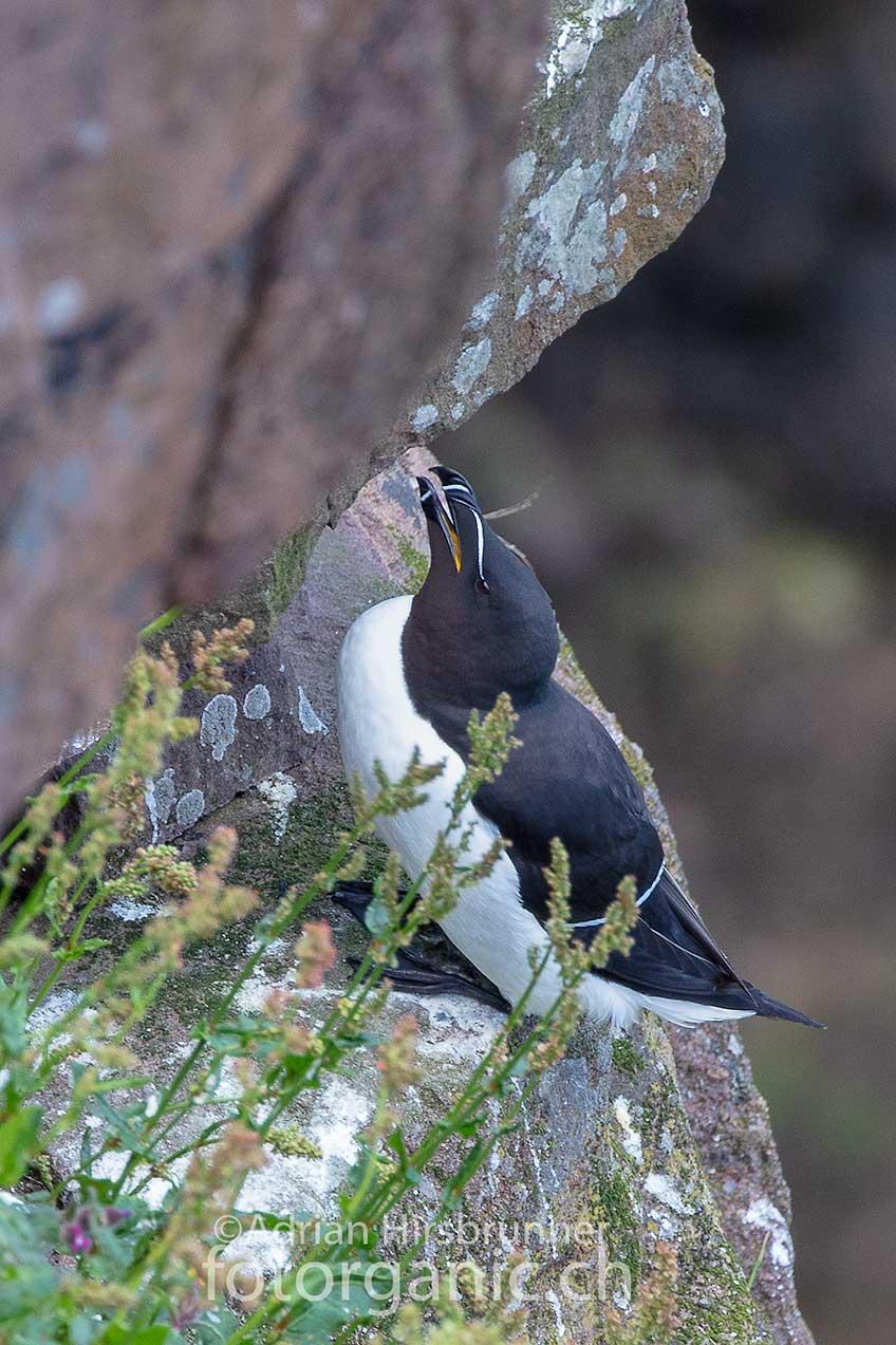 Nebst vielen anderen Vögeln brüten auf Handa Island auch die Tordalken