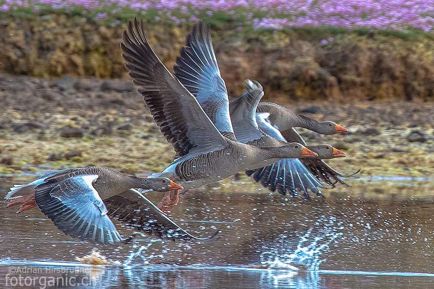 In Schottland gibt es eine vielfältige Vogelwelt. Vögel wie Graugänse sind hier oft anzutreffen