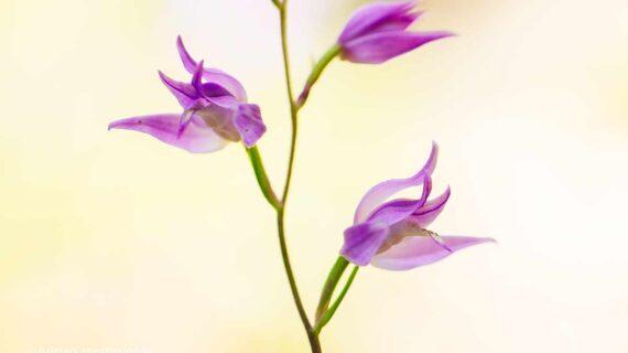 Das Rote Waldvögelein ist eine der schönsten Orchideen der Schweiz.