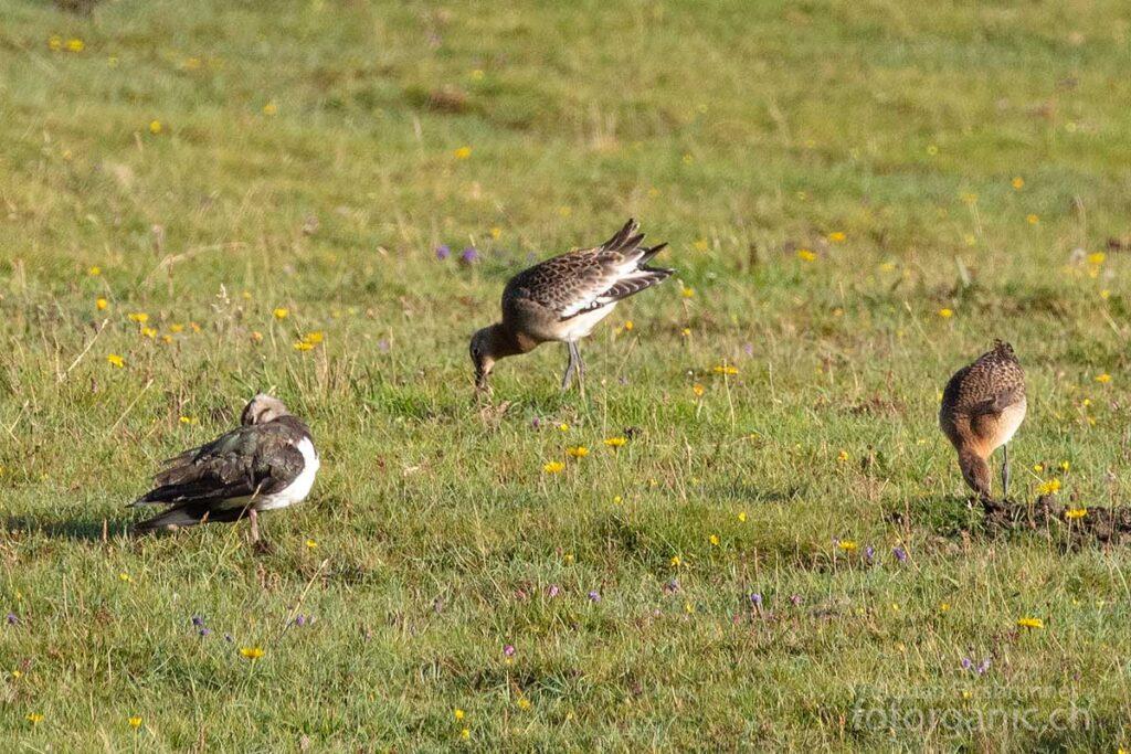 An der Küstenregion von Harris kann man eine vielfältige Vogelwelt beobachten.