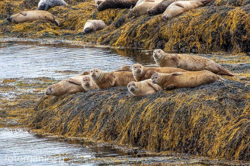 Die Fauna von Lewis and Harris ist vielfältig. Robben sind an den ensprechenden Orten oft zu beobachten.