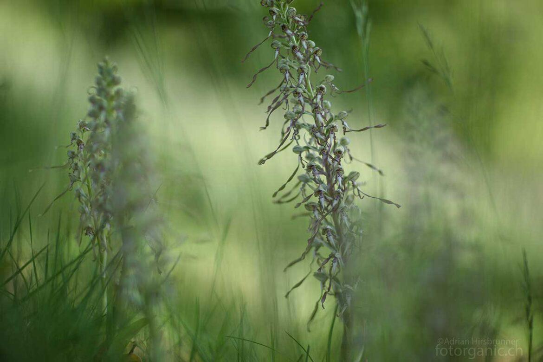 Die Bocks-Riemenzunge ist eine Orchideenart mediterranen Ursprungs.