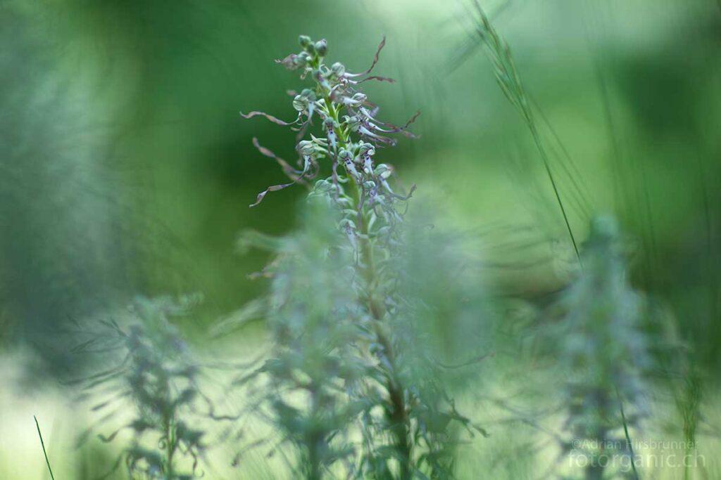 Im Wimmelbild der grünen Wiese geht die Riemenzunge trotz ihrer Grösse beinahe unter.