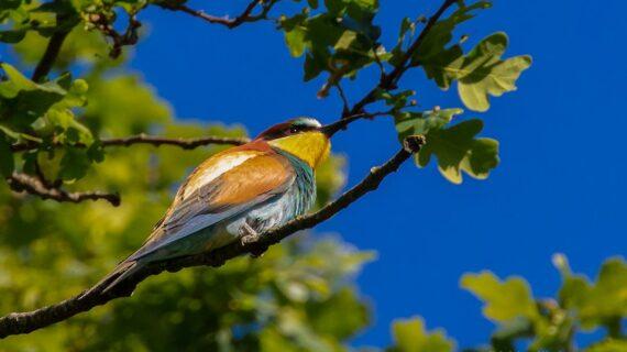 Der Bienenfresser ist in der Schweiz noch ein seltener Vogel. War er hierzulande in den 90er Jahren noch kaum anzutreffen, gibt es im Wallis und im Waadtland mittlerweile Kolonien.