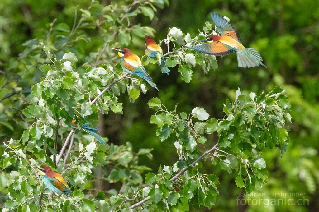 Auf ihrem Lieblingsbaum halten die Bienenfresser nach Feinden Ausschau und pflegen ihre sozialen Kontakte