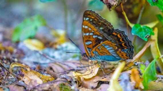 Auch bei den Schmetterlingen gibt es Eisvögel. Der Grosse Eisvogel ist der grösste Schmetterling der drei in Europa heimischen Limenitis Arten.
